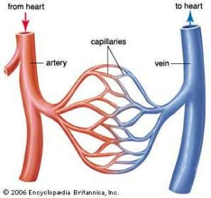 Blood Vessels ● Blood flows through 3 types of blood vessels 1. Arteries: large vessel