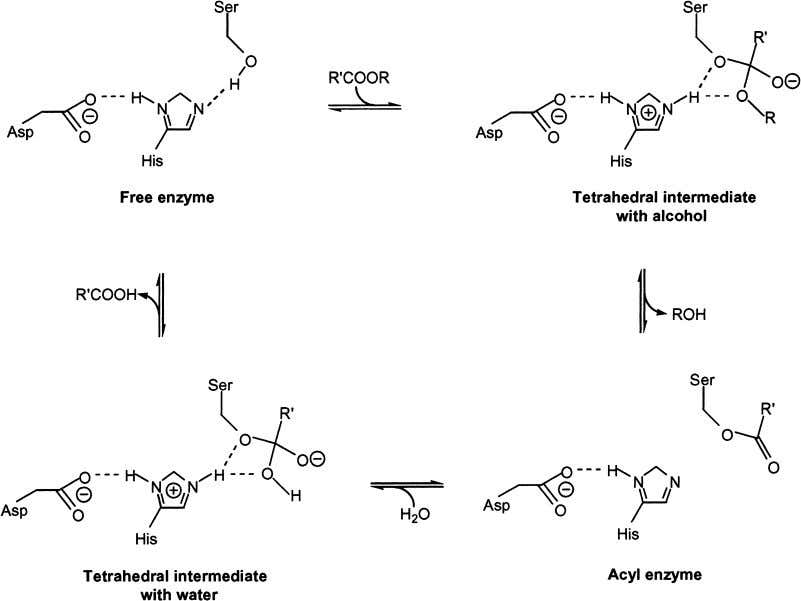 Raza et al. Fig. 1. Reaction mechanism of serine hydrolase catalyzed hydrolysis or esterification. E is