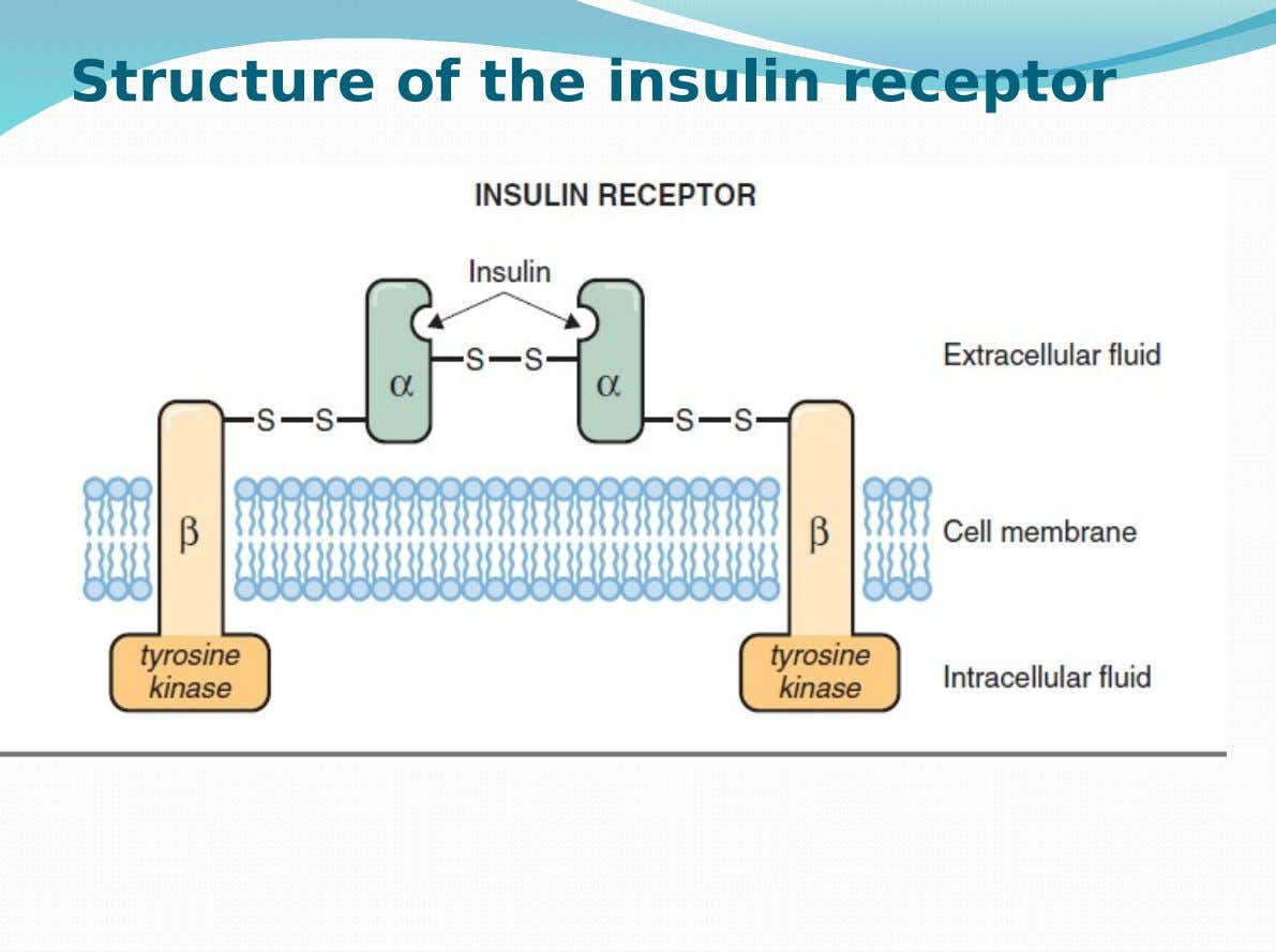 Structure of the insulin receptor