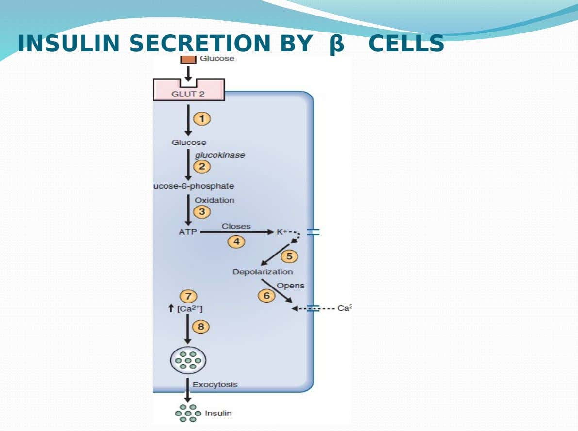 INSULIN SECRETION BY β CELLS