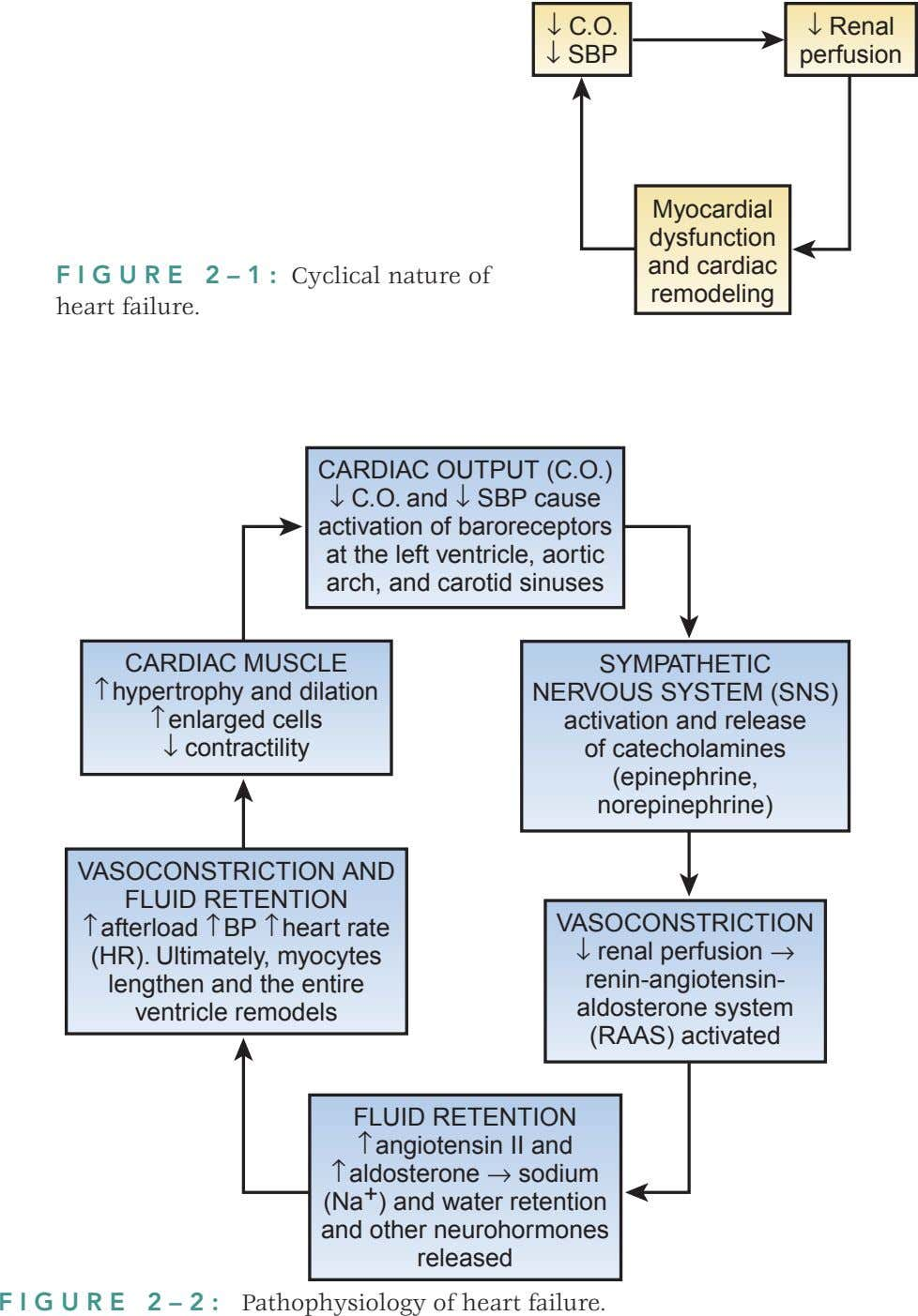 ↓ C.O. ↓ Renal ↓ SBP perfusion Myocardial dysfunction and cardiac FIGURE 2–1: Cyclical nature