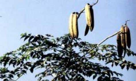 Plant: Shyonaaka Oroxylum indicum (L.) Benth.ex Kurz Special characters: This tree can easily be recognized in