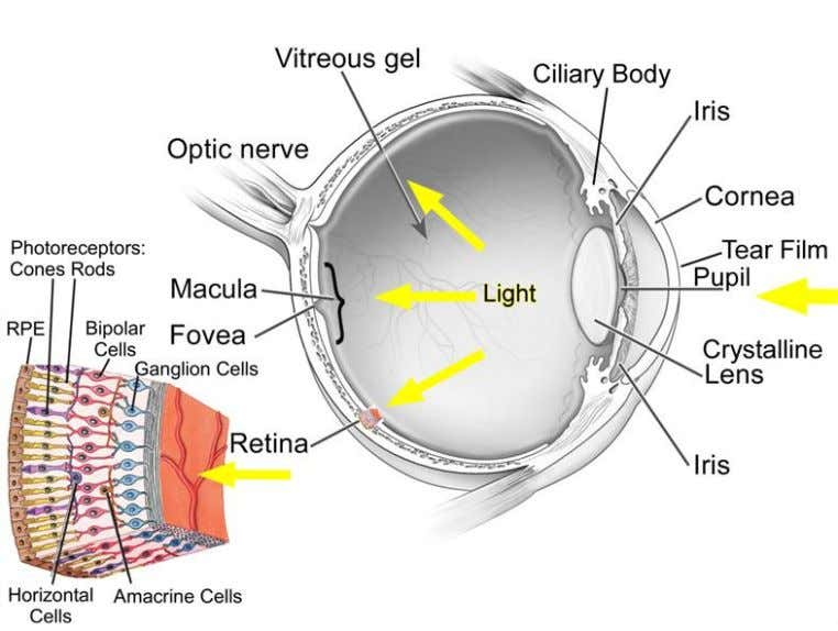 Figure 5 – Diagram of the human eye and its main components (Fuensanta and Doble,