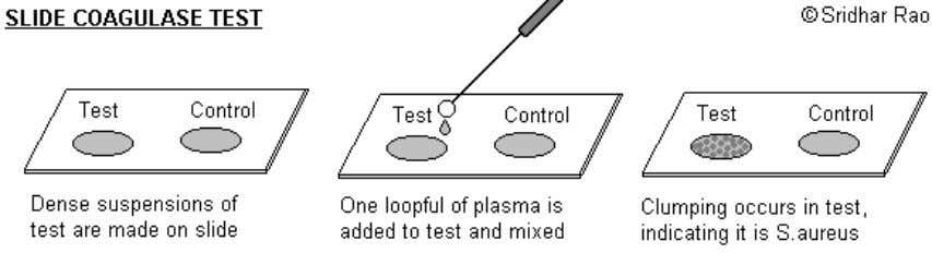 and such strains must be identified by tube coagulase test. TUBE COAGULASE TEST: Principle: The free