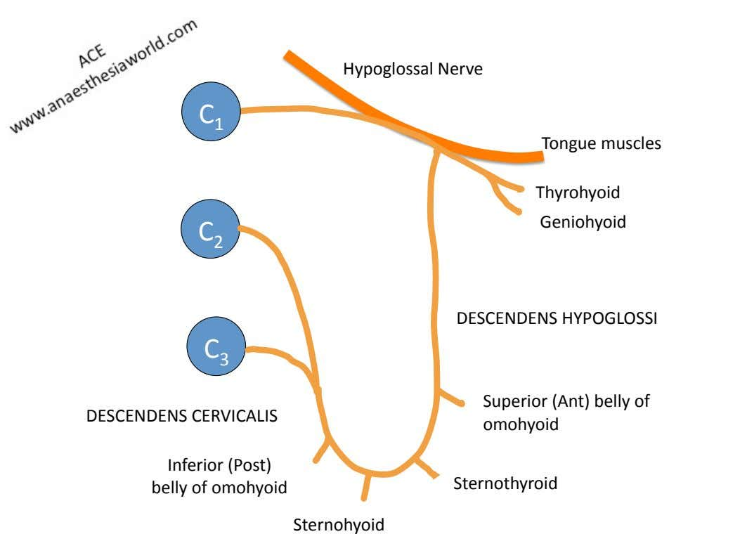 Hypoglossal)Nerve) C 1) Tongue)muscles) Thyrohyoid) )Geniohyoid) C 2) DESCENDENS)HYPOGLOSSI) C 3)