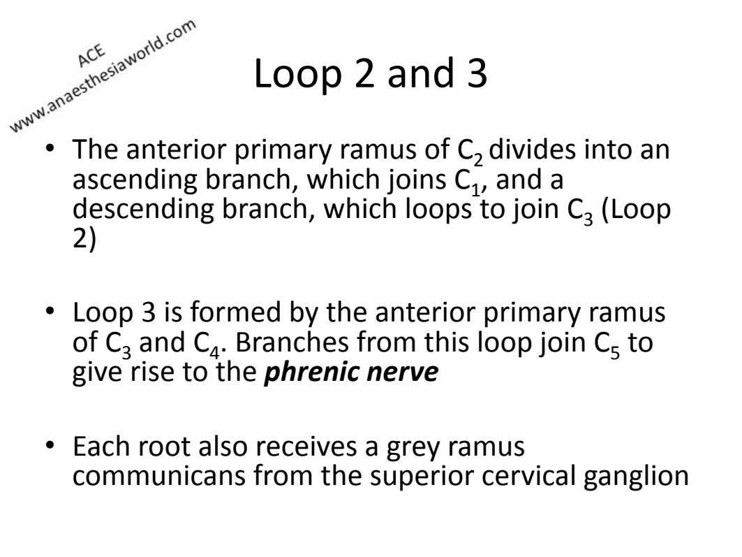 Loop)2)and)3) •   The)anterior)primary) ramus )of)C 2) divides)into)an) ascending)branch,)which)joins)C 1 ,)and)a)