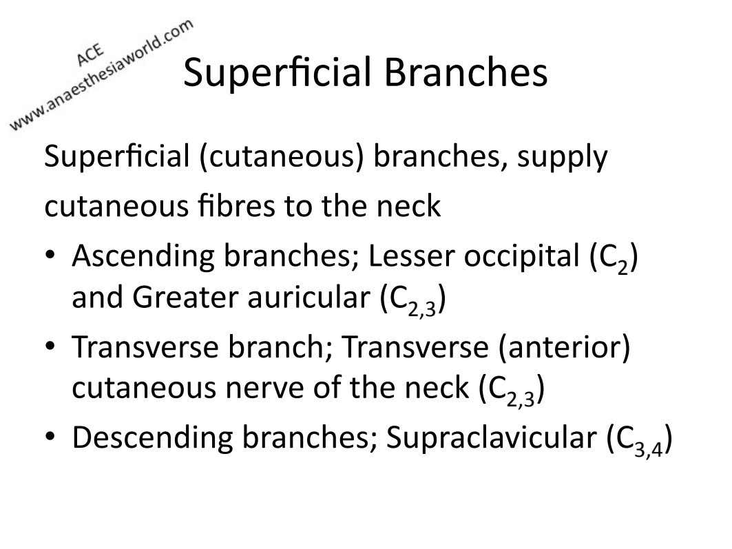 Superficial)Branches) Superficial)(cutaneous))branches,)supply)) cutaneous)fibres )to)the)neck) •