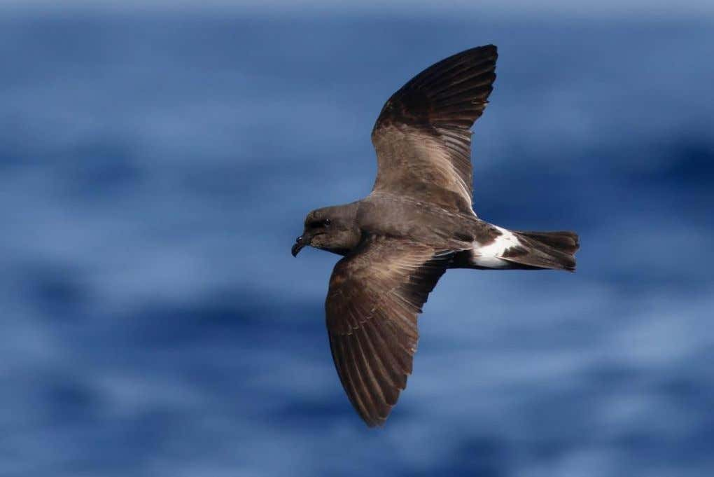 Image 15: Grant's Storm -petrel, off Graciosa, 1 September Image 16: Fea's -type Petrel, off