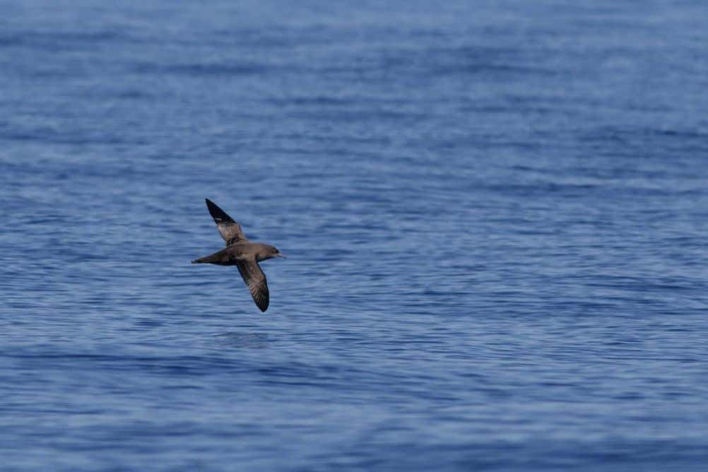 Image 17: Fea's -type Petrel, off Graciosa, 31 August Image 18: Sooty Shearwater, off Graciosa,