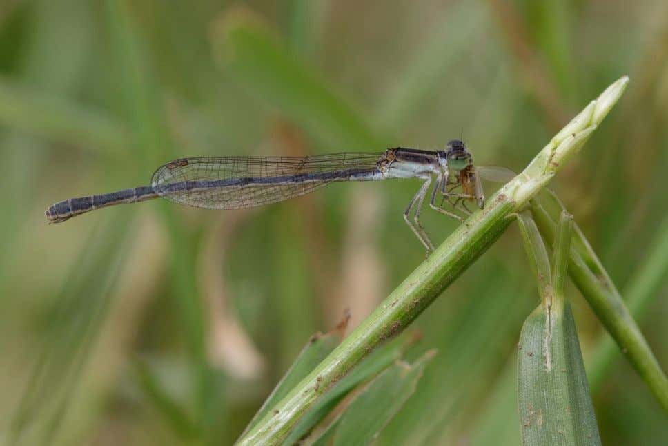 Image 3: Azores Grayling, Lagoa do Negro, Terceira, 29 August Image 4: Citrine Forktail with