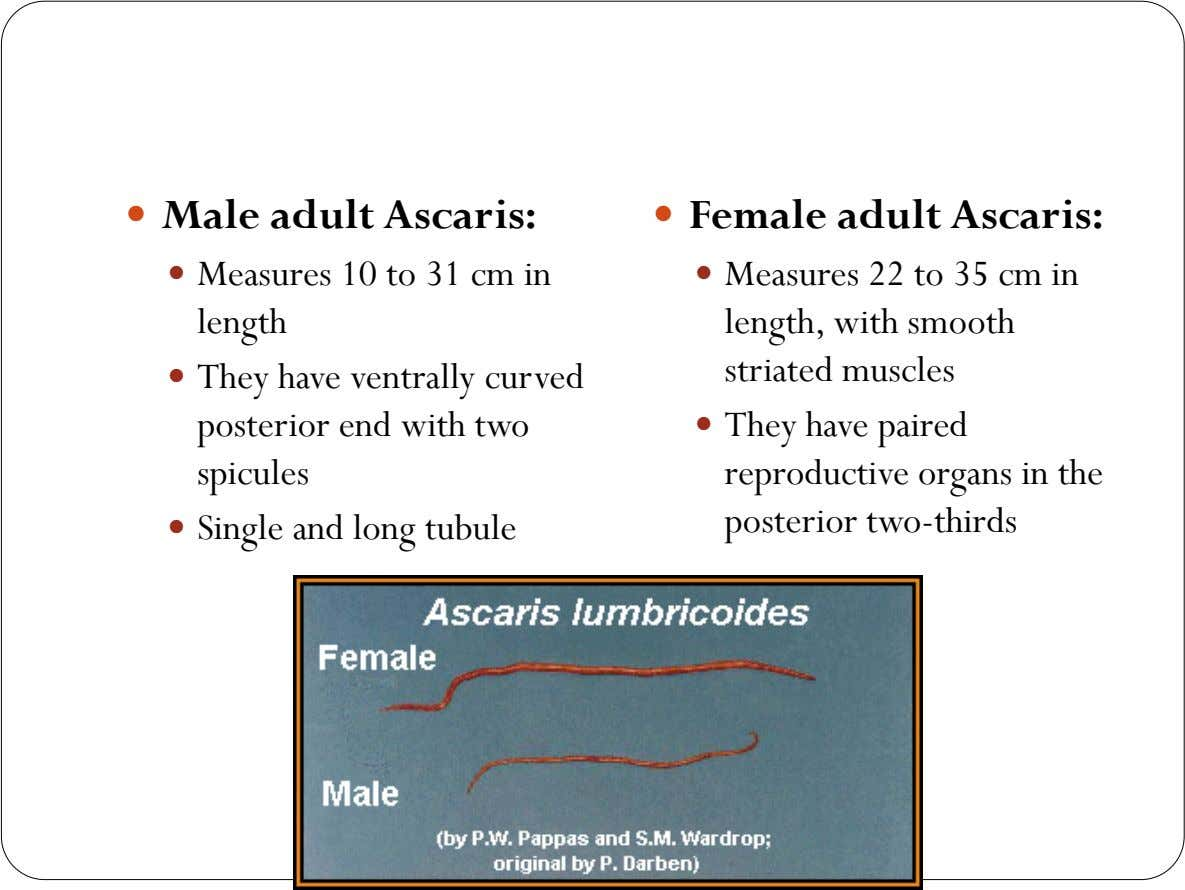  Male adult Ascaris:  Female adult Ascaris:  Measures 10 to 31 cm in 