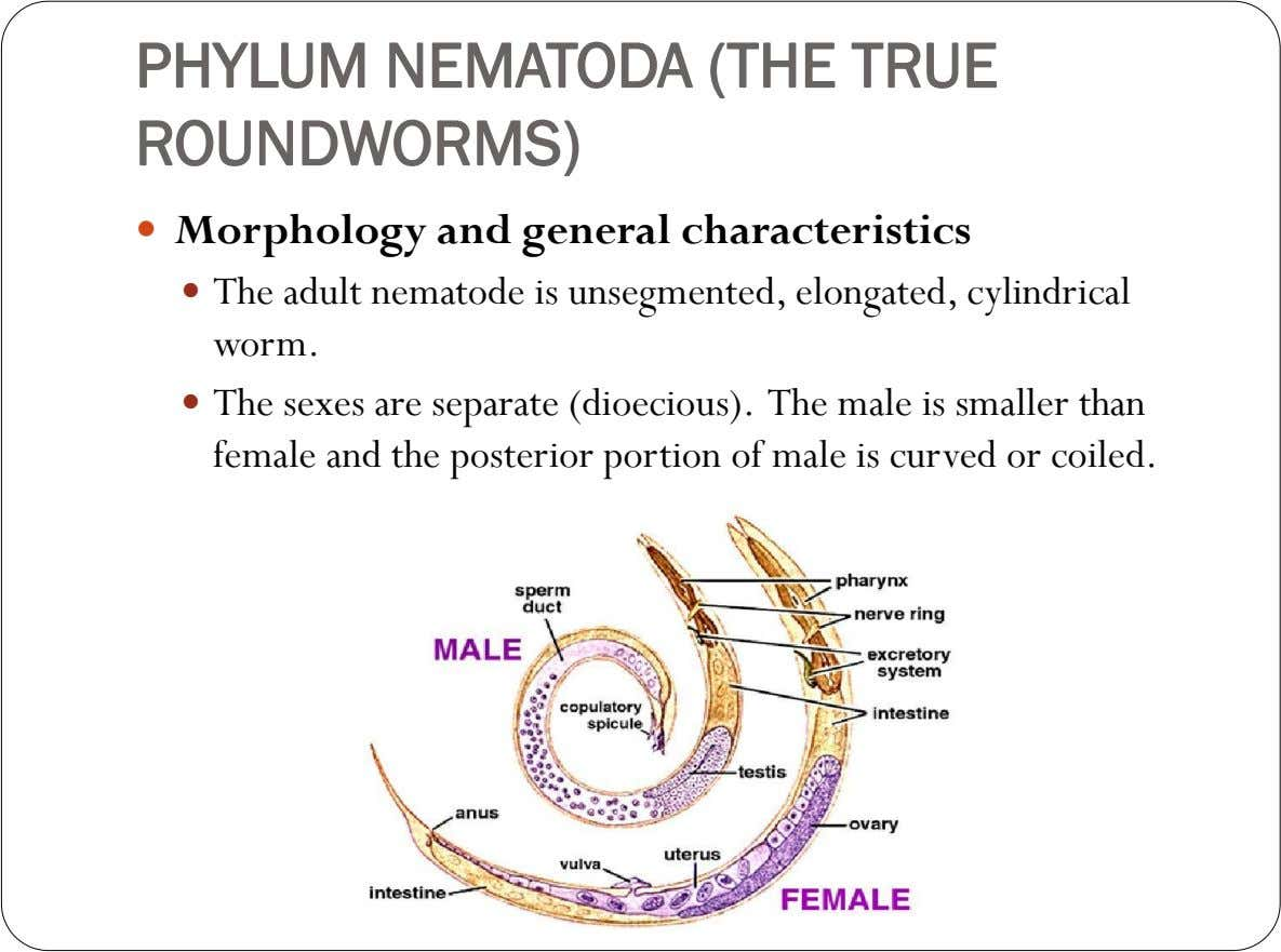 PHYLUM NEMATODA (THE TRUE ROUNDWORMS)  Morphology and general characteristics  The adult nematode is unsegmented,