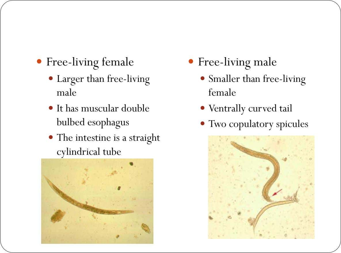  Free-living female  Free-living male  Larger than free-living  Smaller than free-living male female