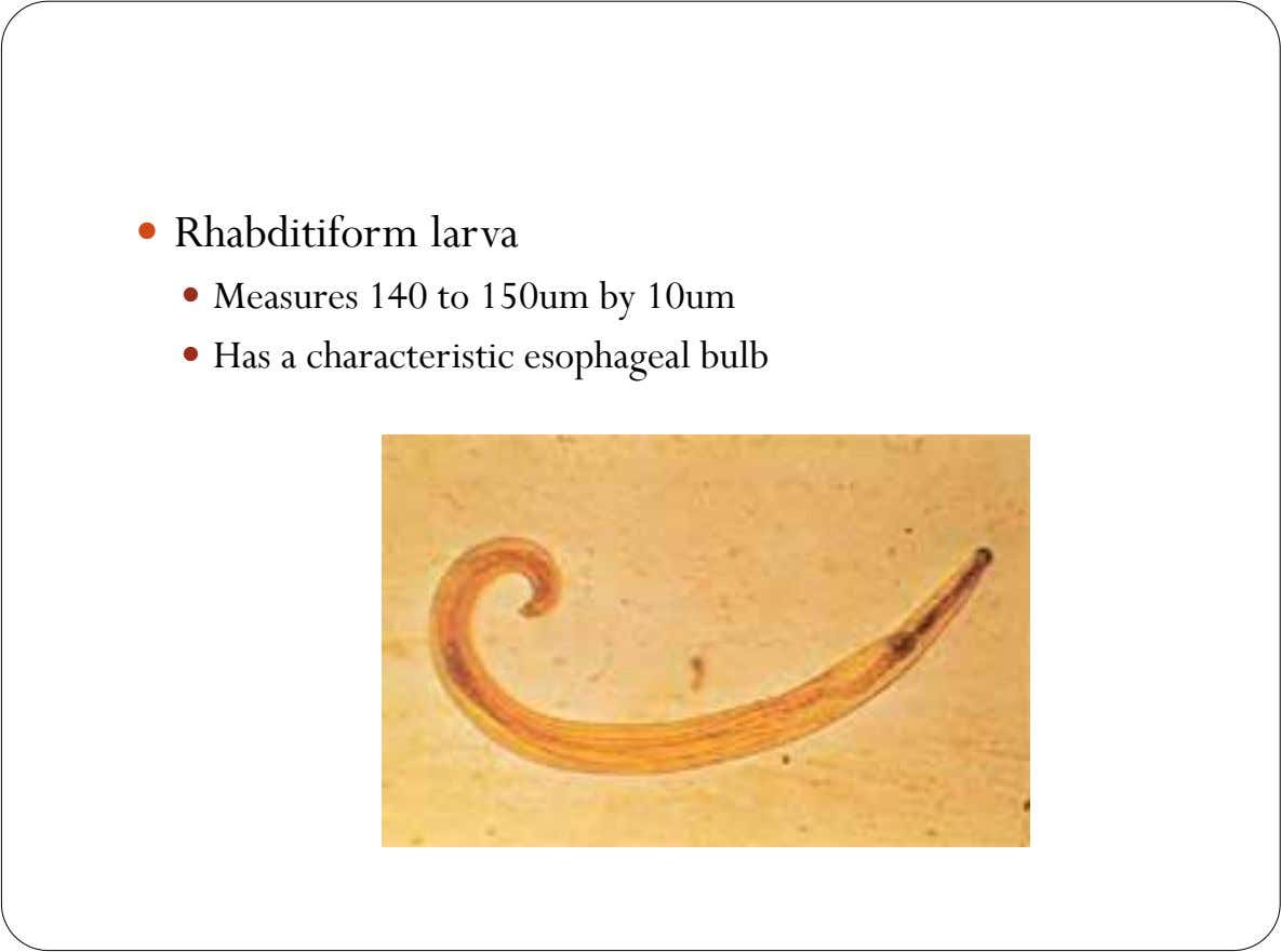  Rhabditiform larva  Measures 140 to 150um by 10um  Has a characteristic esophageal bulb