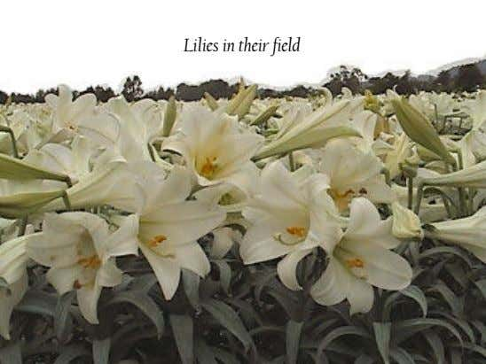 Lilies in their field