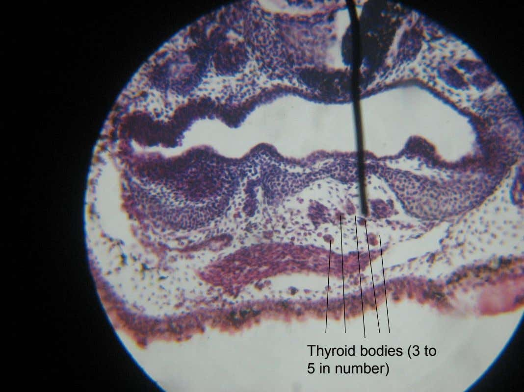 Thyroid bodies (3 to 5 in number)