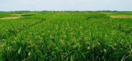 in Mississippi. Mississippi has not traditionally grown much Daily Rice E-Newsletter by Rice Plus Magazine