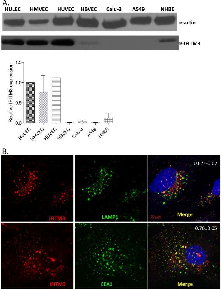 Influenza Virus Infection in Pulmonary Endothelial Cells FIG 4 Constitutive IFITM3 expression in human endothelial