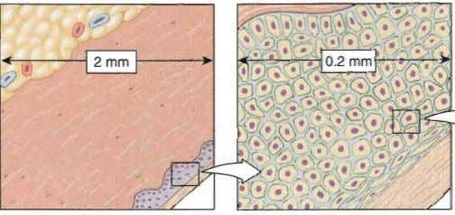 D l,m), of a mitochondrion is 2 J l,m, Figure 3.1 The size of cells and