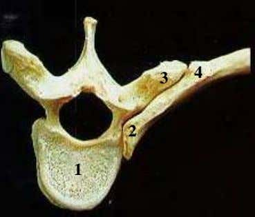 rib with vertebra 1 1. 1 4 3 2. 3. 2 4. 7 1 What are