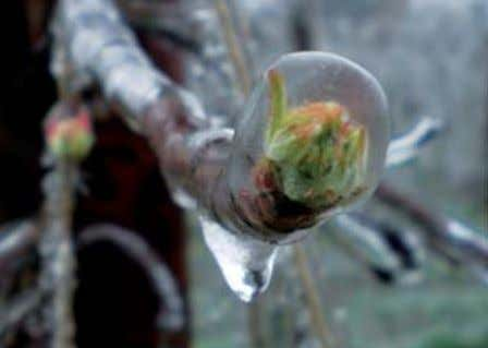 In this way, the buds and blossoms are protected against freezing. Source: Obsthof Axel Schuback, www.apfelpatenhof.de