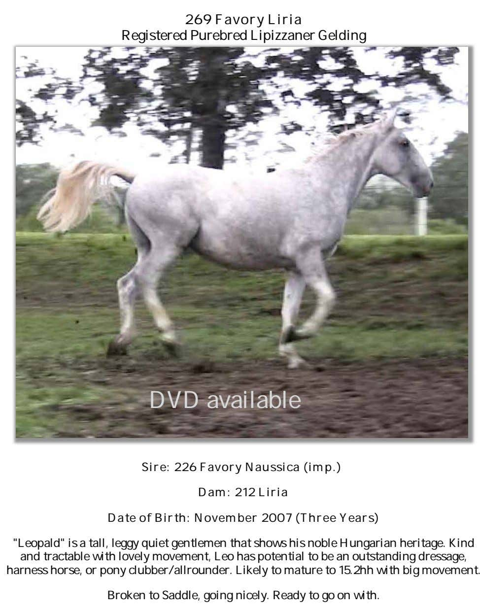 269 Favory Liria Registered Purebred Lipizzaner Gelding DVD available Sire: 226 Favory Naussica (imp.) Dam: