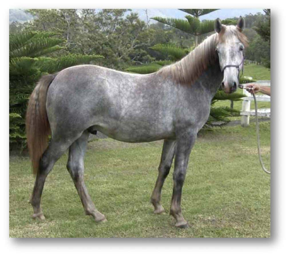 "FOR SALE 282 Favory Liria II (""Luciano"") Purebred Lipizzaner Gelding, Registered. Date of Birth: 23 Nov"