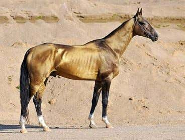 Europe and North America . [ 4 ] Akhal-Teke Akhal-Teke Distinguishing Riding horse bred for