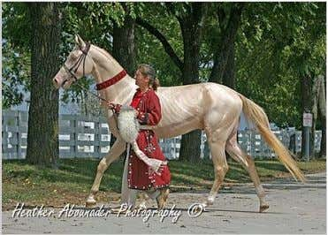 is also known for its form and grace as a show jumper . Perlino Akhal-Teke. Many
