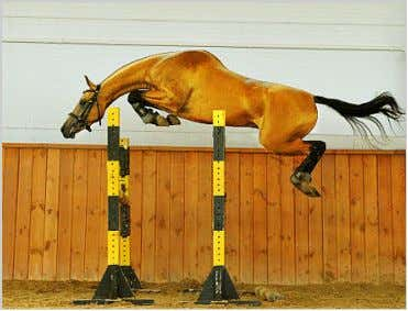 To date, there are no DNA tests for these conditions. Free jumping Akhal-Teke Naked Foal Syndrome