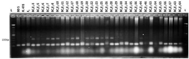 backcrossing for identification of salt tolerant rice Fig. 1(a). Banding pattern of BC 1 F 1
