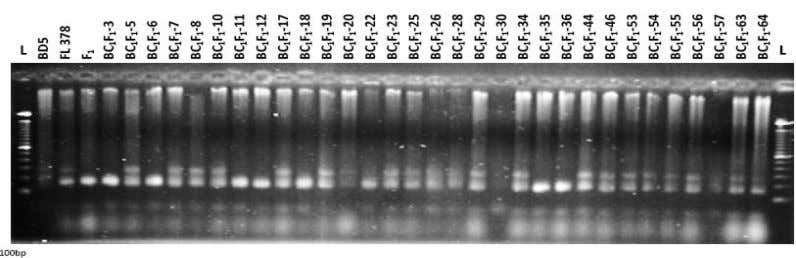 backcrossing for identification of salt tolerant rice Fig. 3 (a). Banding pattern of BC 1 F