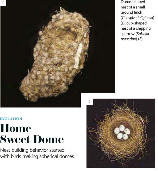 1 Dome-shaped nest of a small ground finch (Geospiza fuliginosa) (1); cup-shaped nest of a