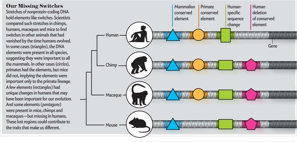 Our Missing Switches Mammalian Primate Human- Human Stretches of nonprotein-coding DNA hold elements like switches.