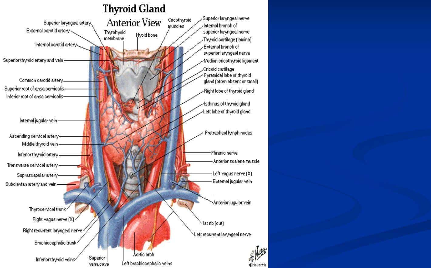 "Thyroid Thyroid Anatomy Anatomy In some people a third ""pyramidal lobe"" exists, ascending from the isthmus"
