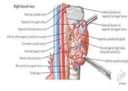 Position and relations Recurrent laryngeal nerve is an important structure lying between trachea and thyroid