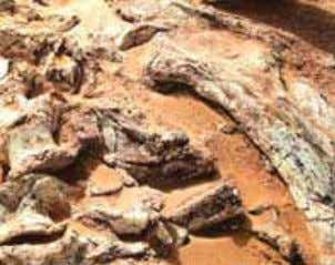 their hard parts remained (Ex. Teeth and bones of dinosaurs) Fig. (8) Fossil of dinosaur bones
