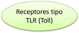 Receptores tipo TLR (Toll)