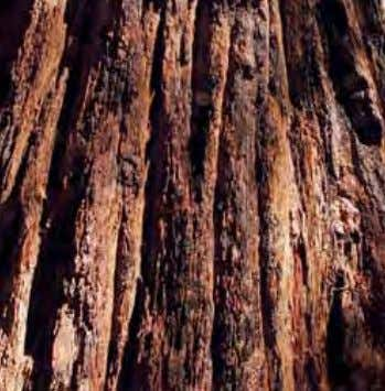 Coast Redwood Giant Sequoia 10-Story Building Apple Tree Oregon California Coast Redwood Range Pacific Ocean Where