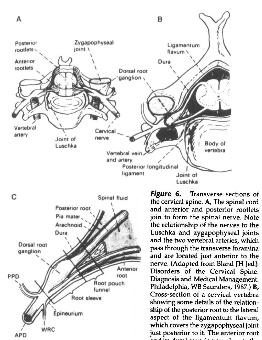 Figure 6. Transverse sections of the cervical spine. A, The spinal cord and anterior and
