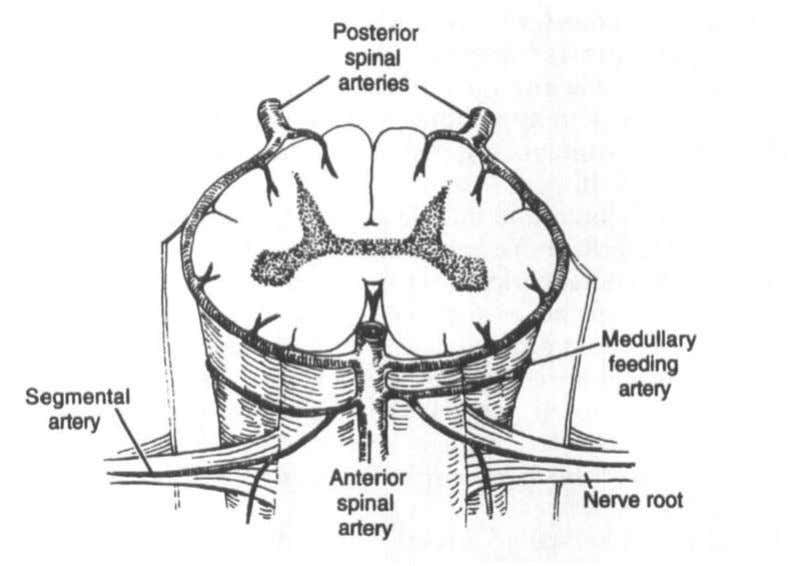 cervical arteries, deep cervical arteries, and vertebral The anterior and posterior spinal artery blood supply to
