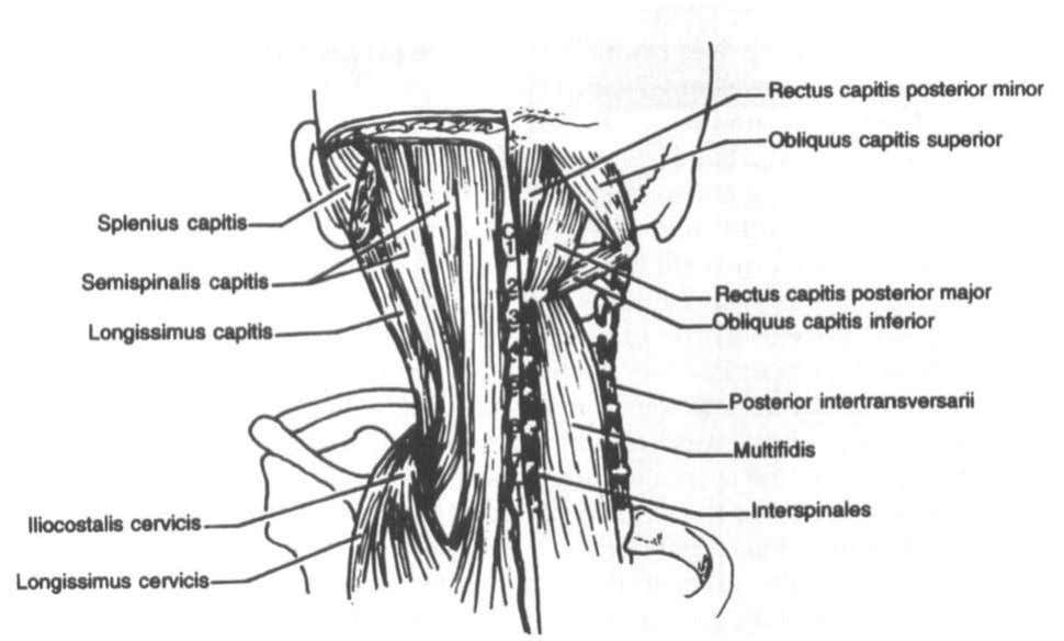 Anatomyof theCervical Spine 2 3 Figure 12. Posterior view of the deeper muscles of the cervical