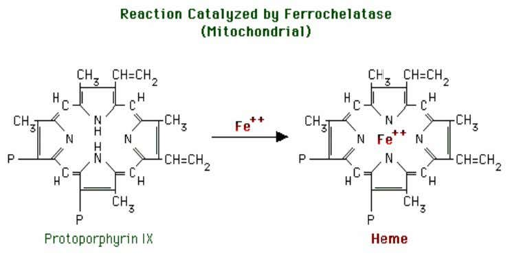 The enzyme requires iron (II), ascorbic acid and cysteine (reducing agents). • Ferrochelatase is inhibited by