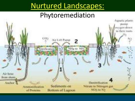 Nurtured Landscapes: Phytoremediation