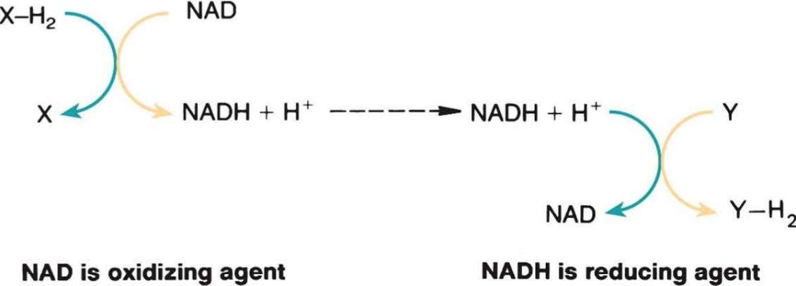 Chapter 3 Biological Energy Transformation Oxidation-Reduction Reaction Involving NAD and NADH Copyright ©2009 The McGraw-Hill Compan