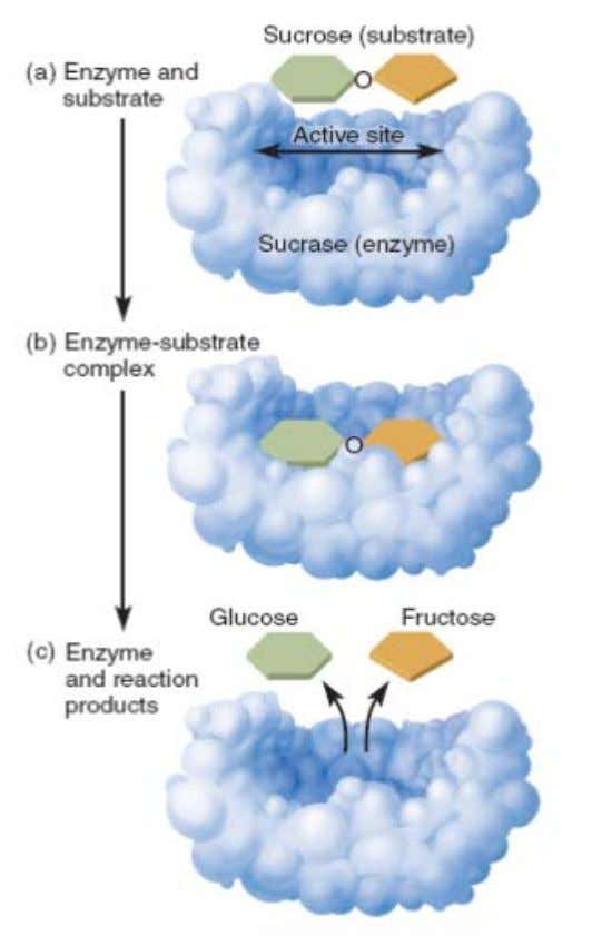 Chapter 3 Biological Energy Transformation The Lock-and-Key Model of Enzyme Action a) Substrate (sucrose) approaches the