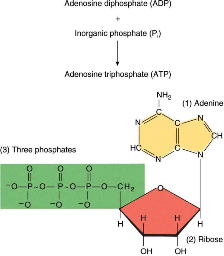 Chapter 3 High-Energy Phosphates Structure of ATP Copyright ©2009 The McGraw-Hill Compan ies, Inc. All Rights