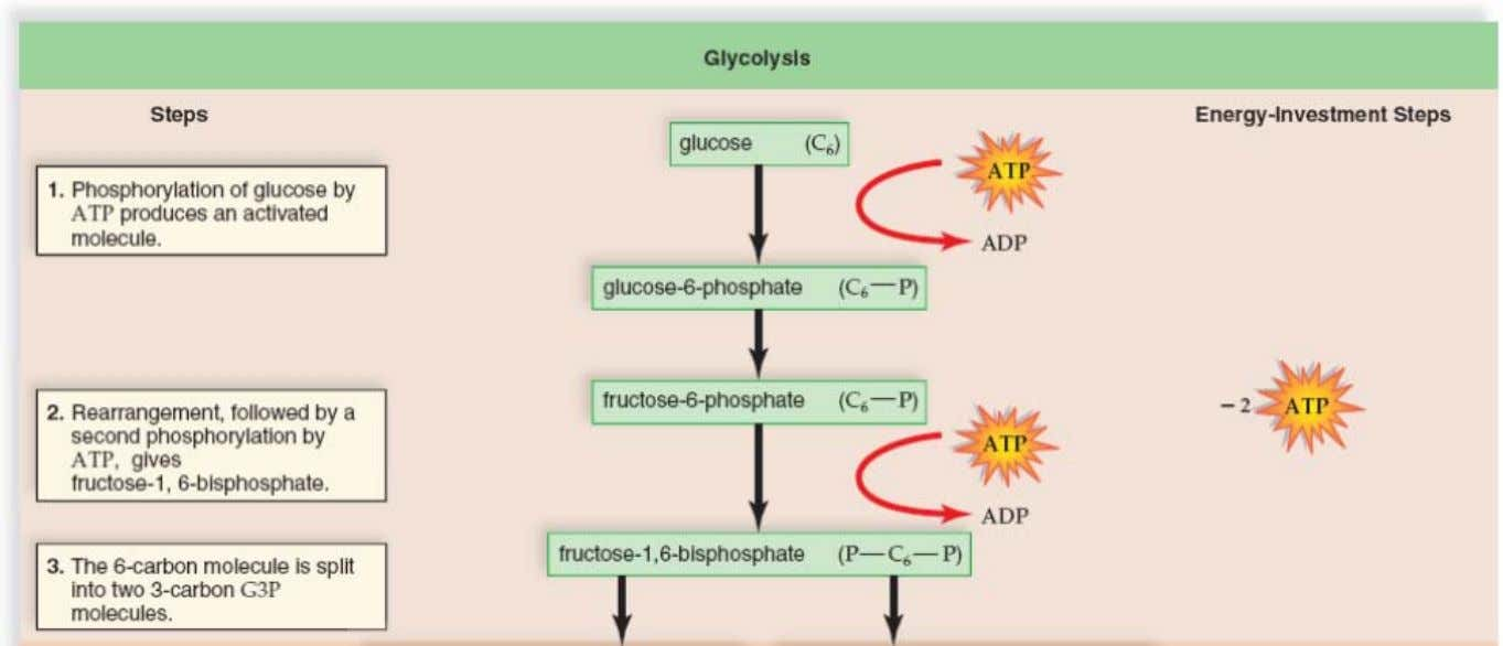 Chapter 3 Bioenergetics Glycolysis: Energy Investment Phase Copyright ©2009 The McGraw-Hill Compan ies, Inc. All Rights