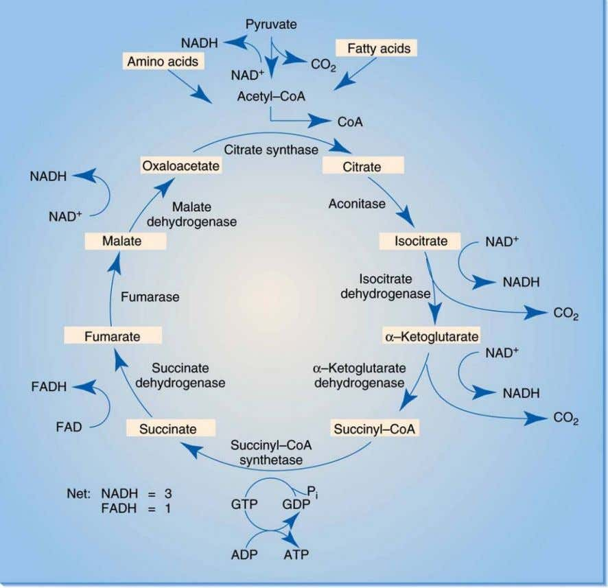 Chapter 3 Bioenergetics The Krebs Cycle Copyright ©2009 The McGraw-Hill Compan ies, Inc. All Rights Reserved.