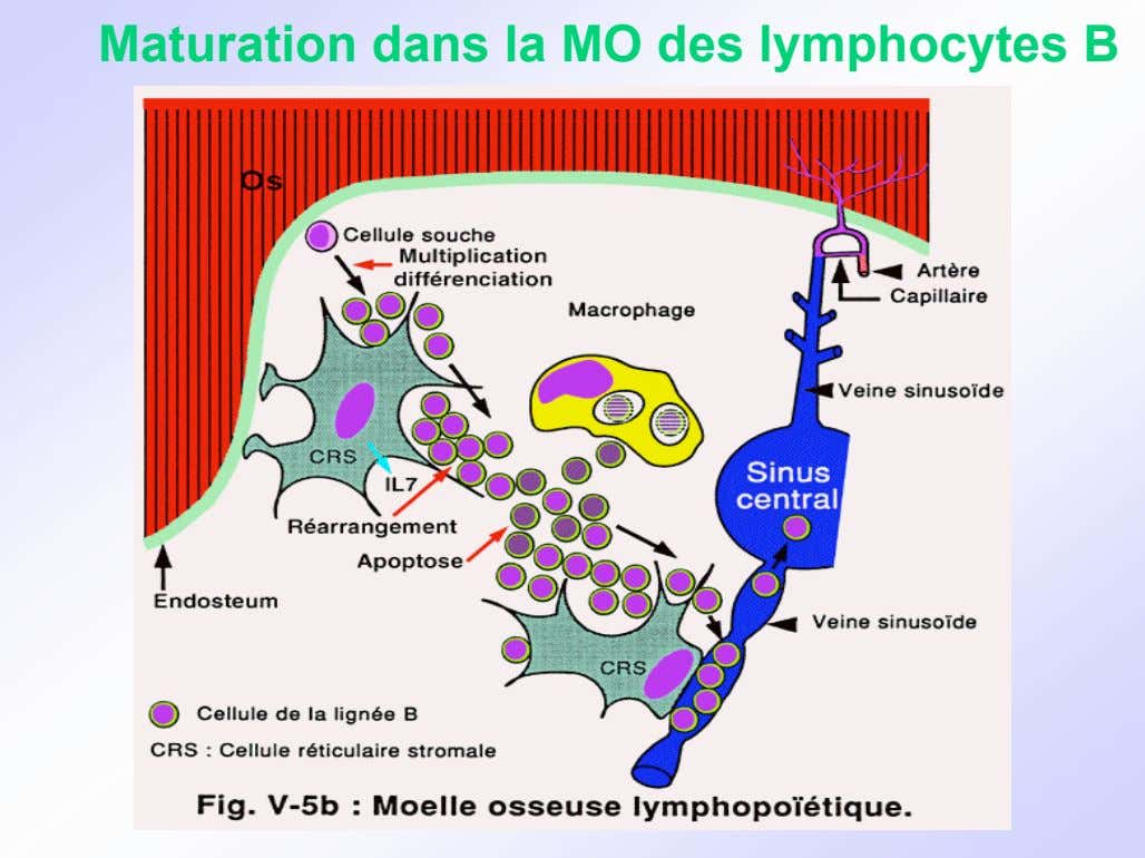 Maturation dans la MO des lymphocytes B